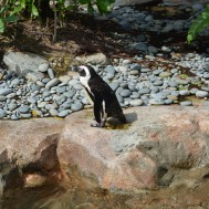 The African penguin.